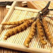 蛹虫草子实体